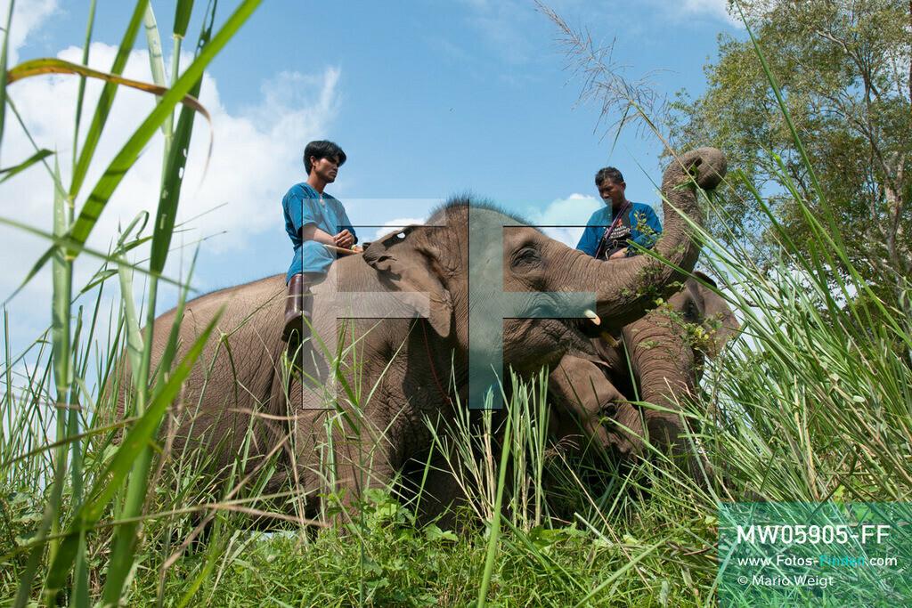 MW05905-FF | Thailand | Goldenes Dreieck | Reportage: Mahut und Elefant - Ein Bündnis fürs Leben | Mahuts auf ihren Elefanten im Dschungel   ** Feindaten bitte anfragen bei Mario Weigt Photography, info@asia-stories.com **