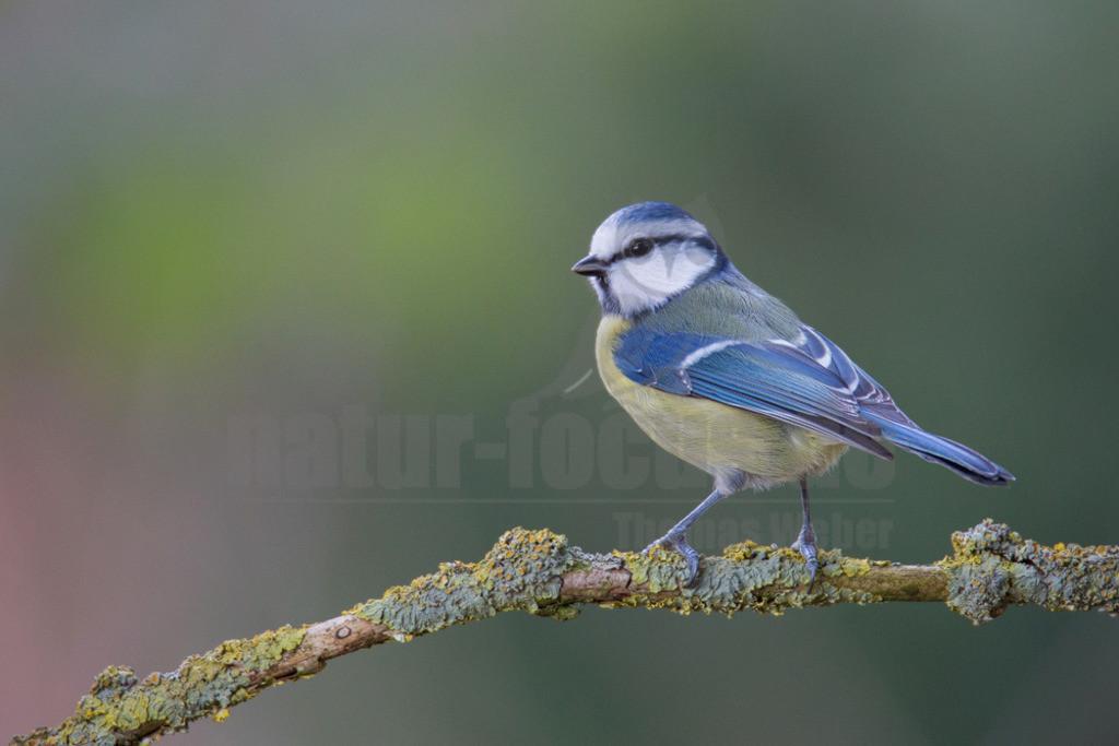 20140209_120453 Kopie | Die Blaumeise ist eine Vogelart der Gattung Cyanistes aus der Familie Meisen. Der Kleinvogel ist mit seinem blau-gelben Gefieder einfach zu bestimmen und in Mitteleuropa sehr häufig anzutreffen.