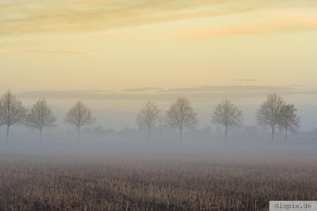 Bäume im Nebel | Eine reihe Bäume im leichten Nebel in Raderbroich