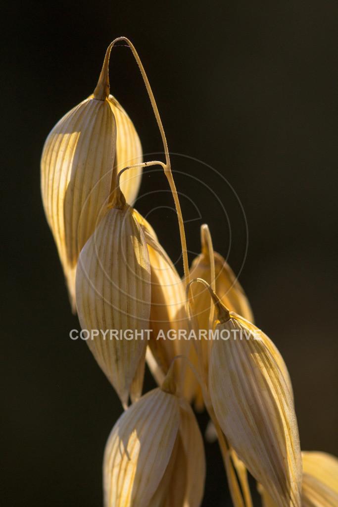 20130801-_MG_8417 | reife Haferpflanzen - AGRARMOTIVE Bilder aus der Landwirtschaft