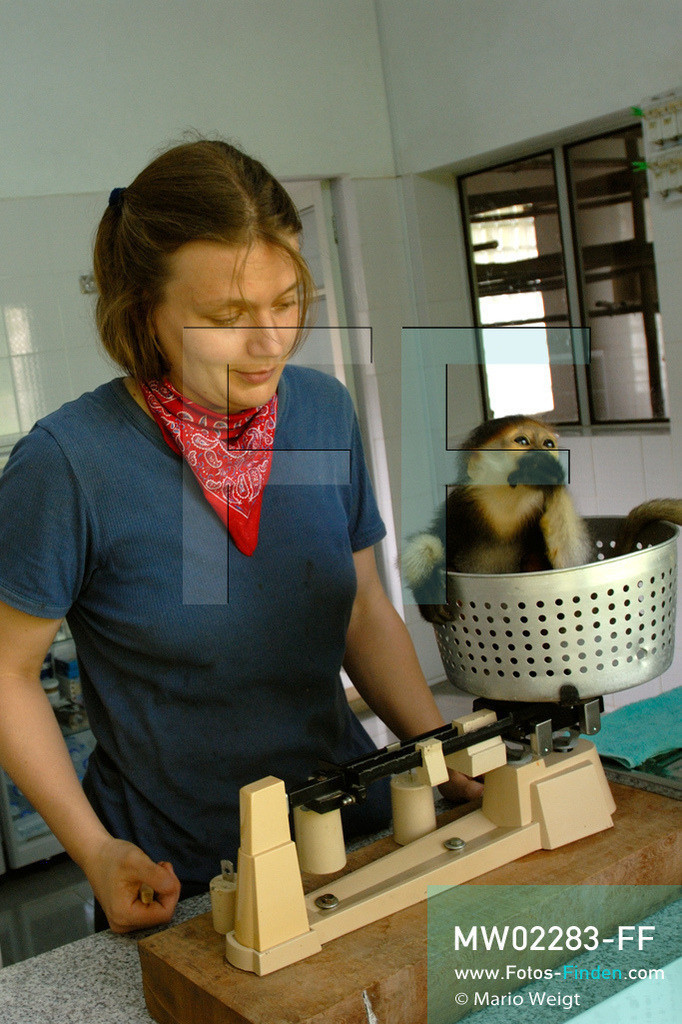 MW02283-FF | Vietnam | Provinz Ninh Binh | Reportage: Endangered Primate Rescue Center | Das Affenbaby (Rotgeschenkliger Kleideraffe) wird einmal am Tag gewogen. Der Deutsche Tilo Nadler leitet das Rettungszentrum für gefährdete Primaten im Cuc-Phuong-Nationalpark.   ** Feindaten bitte anfragen bei Mario Weigt Photography, info@asia-stories.com **