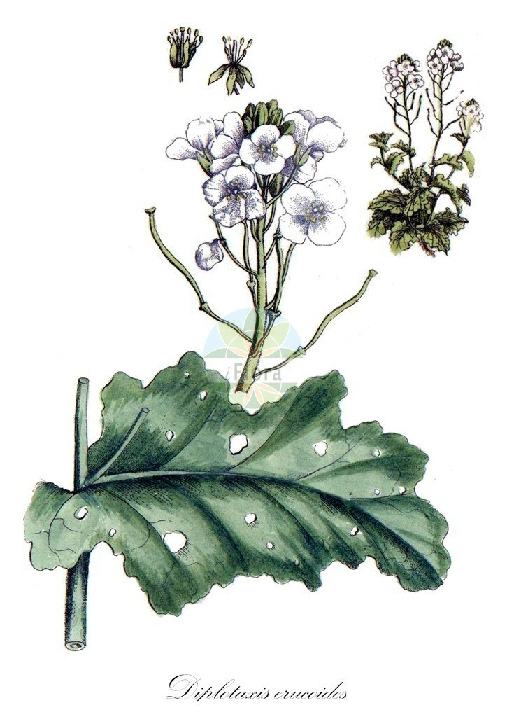 Historical drawing of Diplotaxis erucoides (Wallrocket) | Historical drawing of Diplotaxis erucoides (Wallrocket) showing leaf, flower, fruit, seed