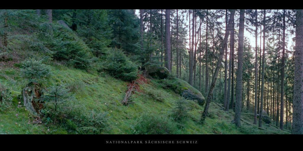 Sächsische Schweiz Elbsandsteingebirge   Nadelwald im Nationalpark Sächsische Schweiz im Elbsandsteingebirge
