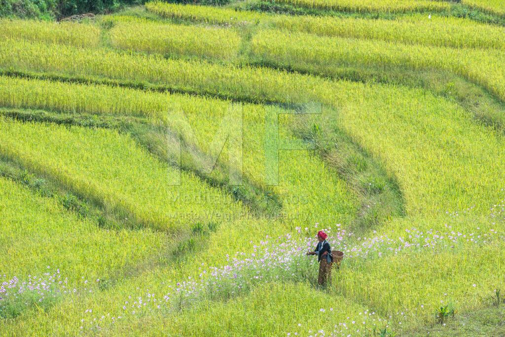 Reisfeld | Eine Frau der Ethnie Pa-O pflueckt Blumen im Reisfeld.