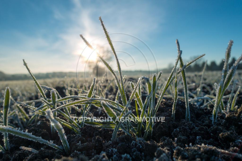 20161204-DSC01330-ret | junge Getreidepflanzen im Winter - AGRARMOTIVE