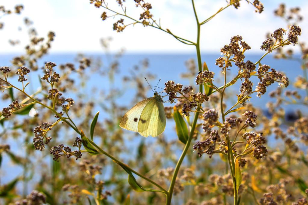 Schmetterling in Booknis | Schmetterling am Wegesrand zwischen Damp und Booknis