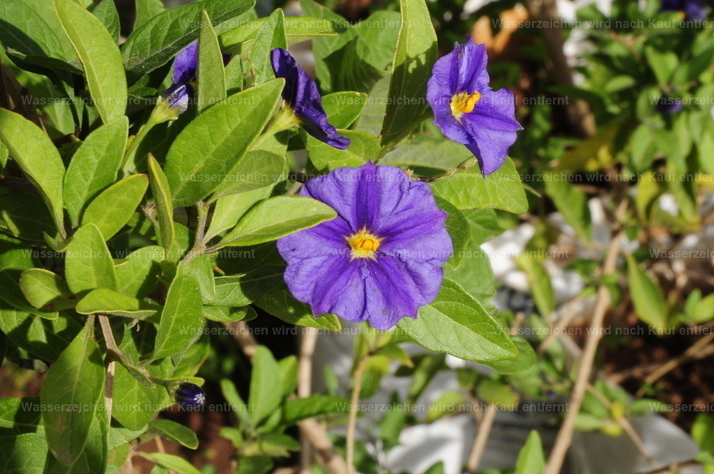 Marokkanische Blume   Marokkanische Blume