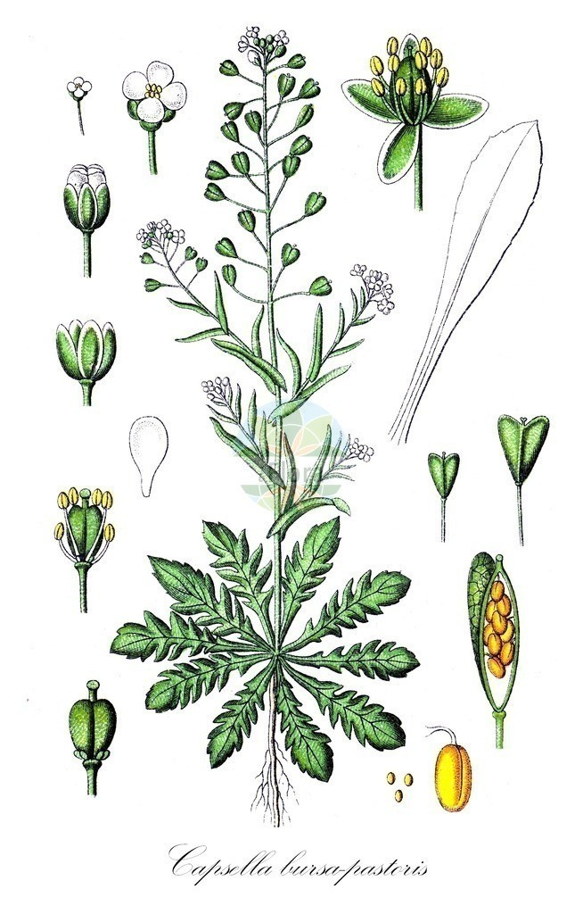Historical drawing of Capsella bursa-pastoris (Shepherd's-pur | Historical drawing of Capsella bursa-pastoris (Shepherd's-pur