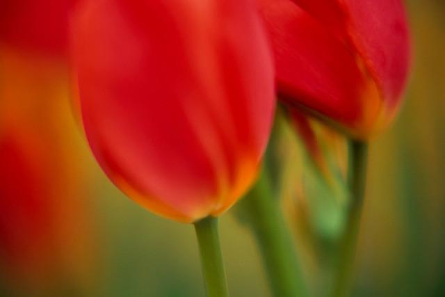 Partnerschaft 09 | Tulpen