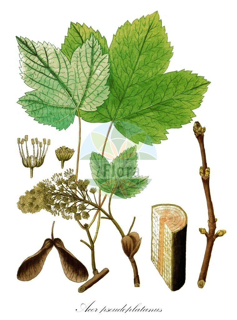 Acer pseudoplatanus (Berg-Ahorn - Sycamore)   Historische Abbildung von Acer pseudoplatanus (Berg-Ahorn - Sycamore). Das Bild zeigt Blatt, Bluete, Frucht und Same. ---- Historical Drawing of Acer pseudoplatanus (Berg-Ahorn - Sycamore).The image is showing leaf, flower, fruit and seed.