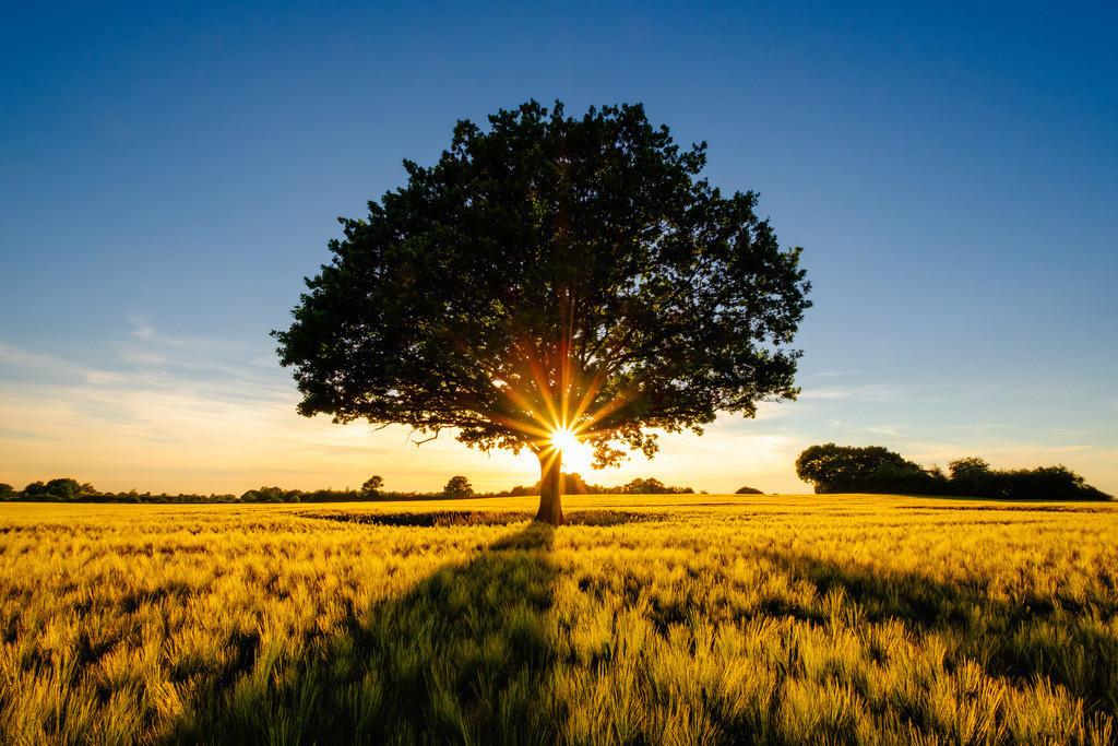 Oak and Barley II | Sonnenuntergang hingter einer stattlichen Eiche in einem Gerstenfeld.