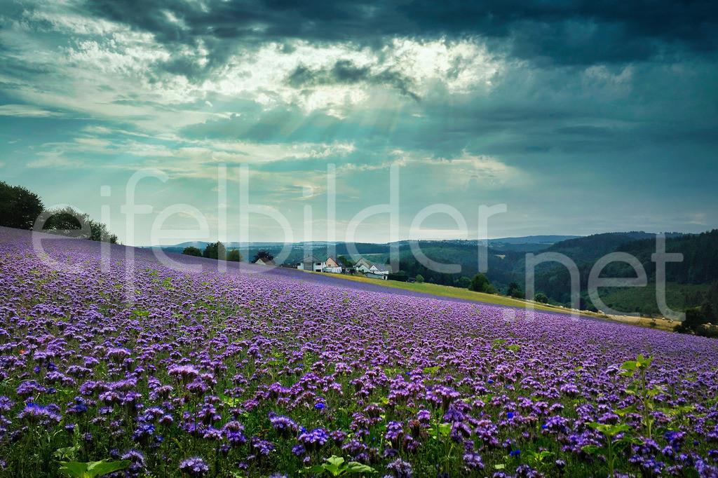 Eifellandschaft / Phaceliablüte | Phaceliablüte auf den Feldern bei Tettscheid (Eifel, Vulkaneifel)