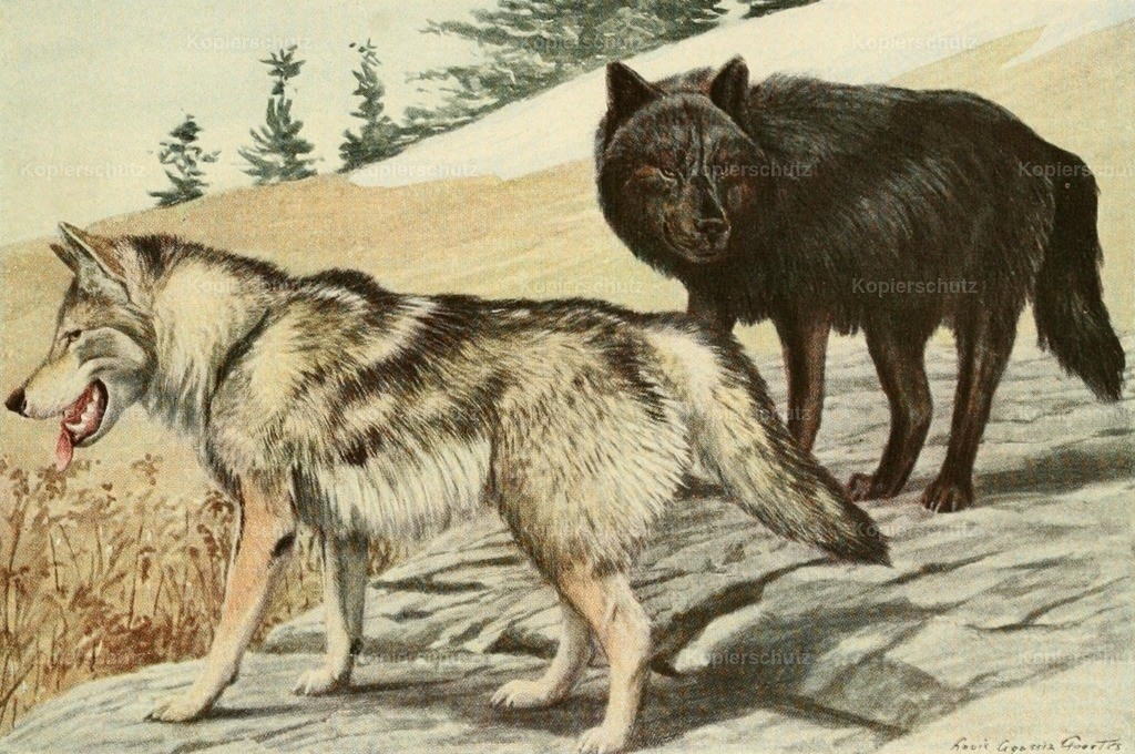 Fuertes_ L.A. (1874-1927) - Wild Animals of N. America 1918 - Grey _ Black Wolves