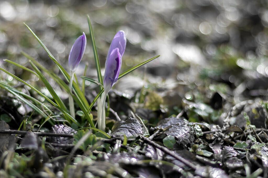 Blühende Krokusse   Wird es endlich #Frühling?