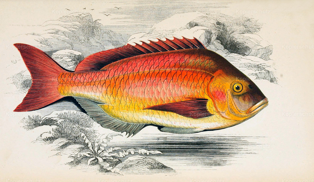A-History-of-the -Fishes- of- the- British-Islands-Fische-1862-1866 (20)