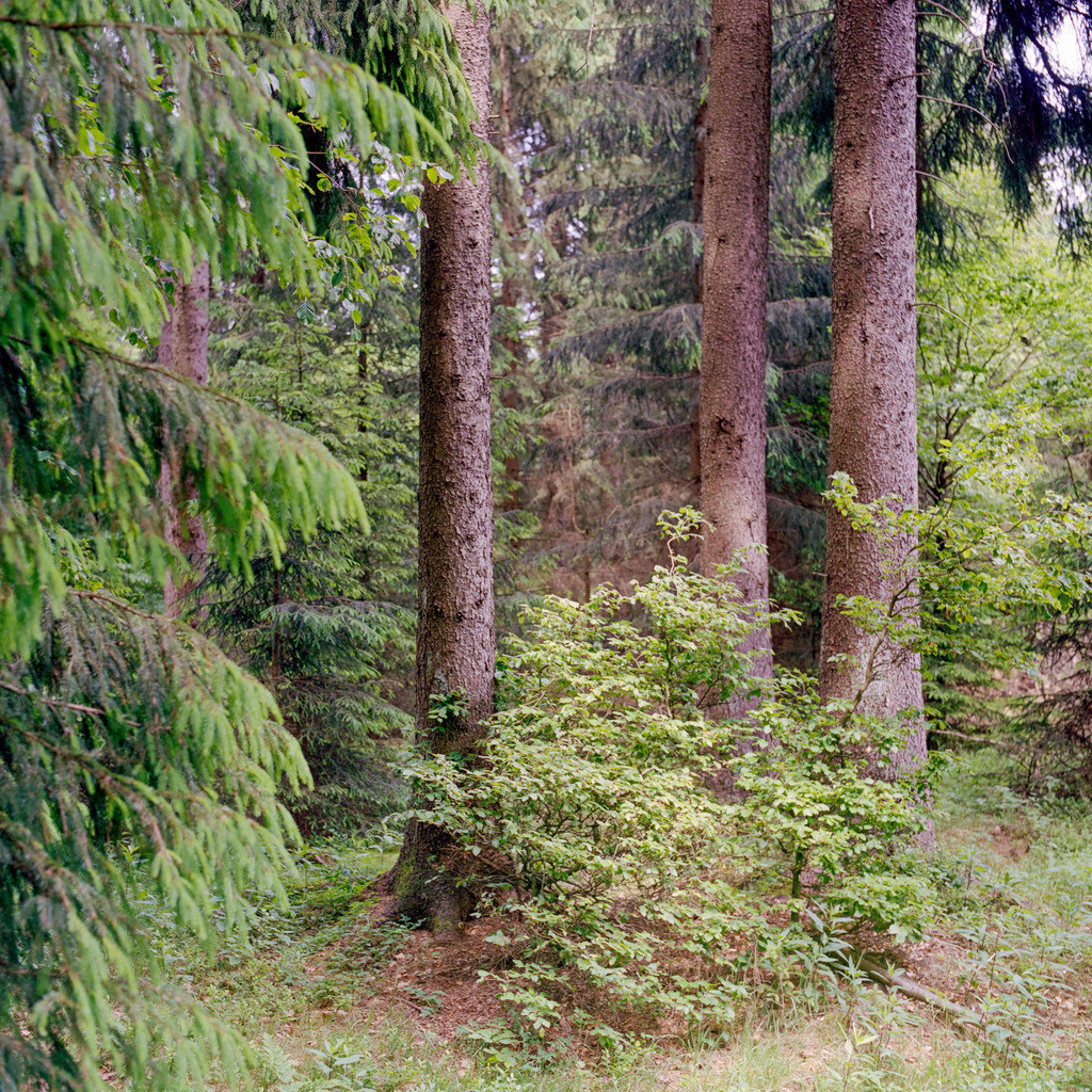 Fichten Thüringer Wald | Fichten im Thüringer Wald