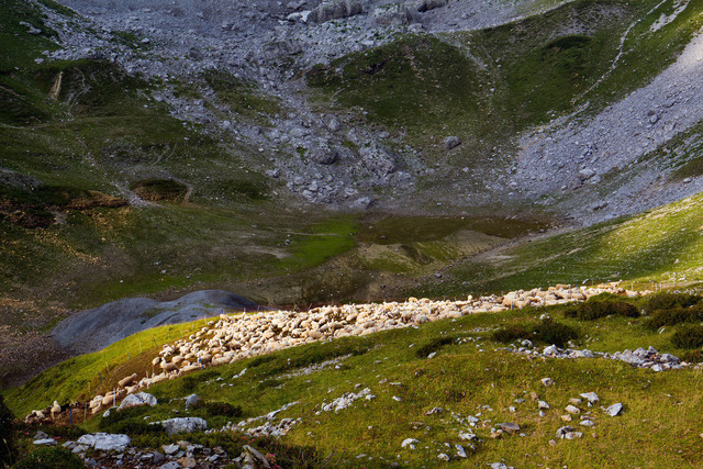 bergamasker-alpen-schafe