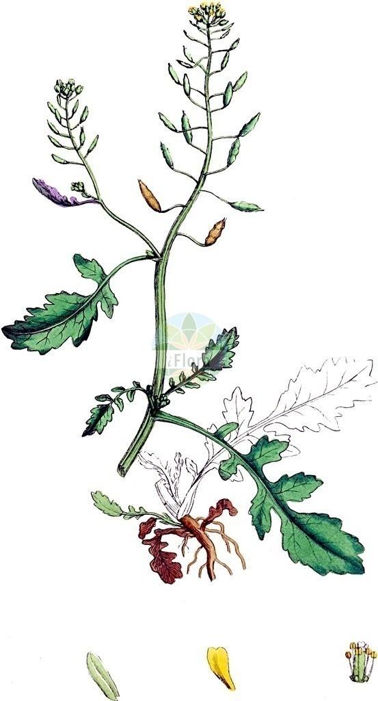 Rorippa palustris (Gewoehnliche Sumpfkresse - Marsh Yellow-cress) | Historische Abbildung von Rorippa palustris (Gewoehnliche Sumpfkresse - Marsh Yellow-cress). Das Bild zeigt Blatt, Bluete, Frucht und Same. ---- Historical Drawing of Rorippa palustris (Gewoehnliche Sumpfkresse - Marsh Yellow-cress).The image is showing leaf, flower, fruit and seed.
