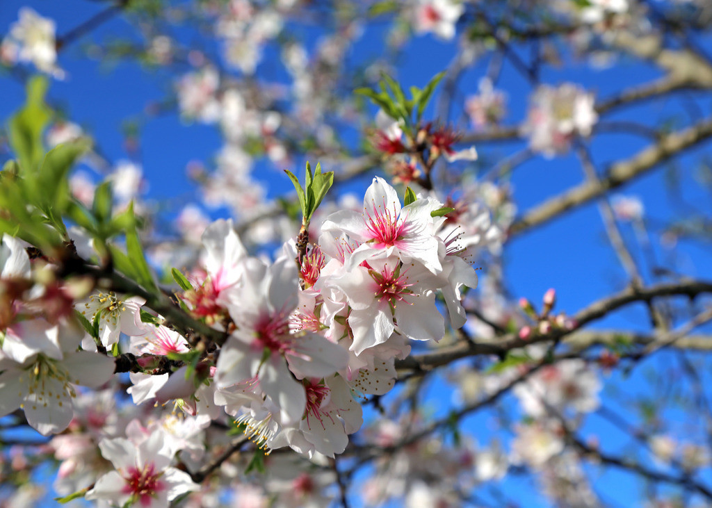 mandelblüte2