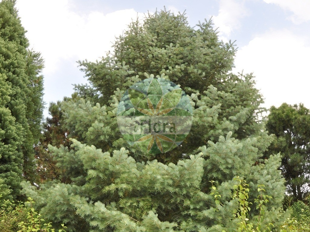 Abies concolor (Kolorado-Tanne - Colorado White-fir) | Foto von Abies concolor (Kolorado-Tanne - Colorado White-fir). Das Foto wurde in Eschborn, Hessen, Deutschland aufgenommen. ---- Photo of Abies concolor (Kolorado-Tanne - Colorado White-fir).The picture was taken in Eschborn, Hesse, Germany.