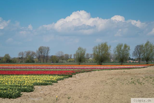 Tulpenfeld bei Glehn  | Tulpenfeld zwischen Glehn und Kleinenbroich