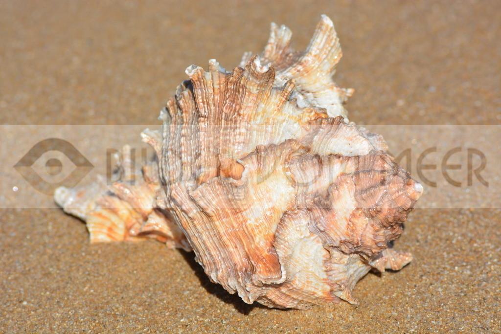 Muschel Bilder am Strand   Muschelbilder am Meer