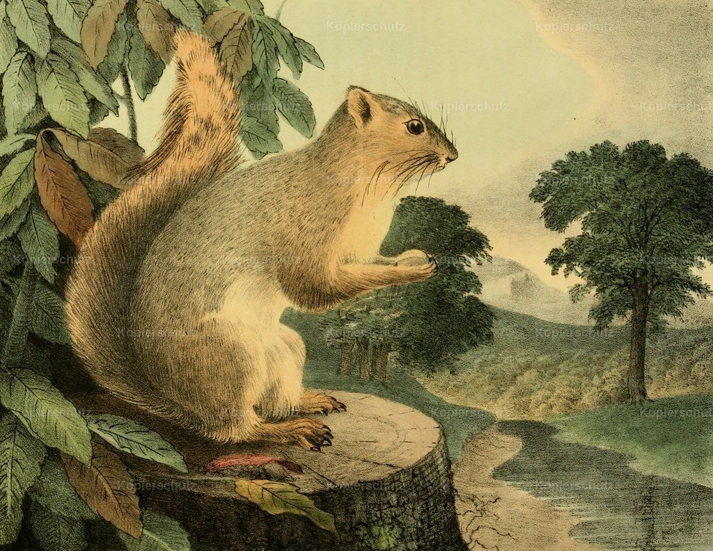 Doughty_ T. (1793-1856) - Cabinet of Natural History 1830 - Great Tailed Squirrel