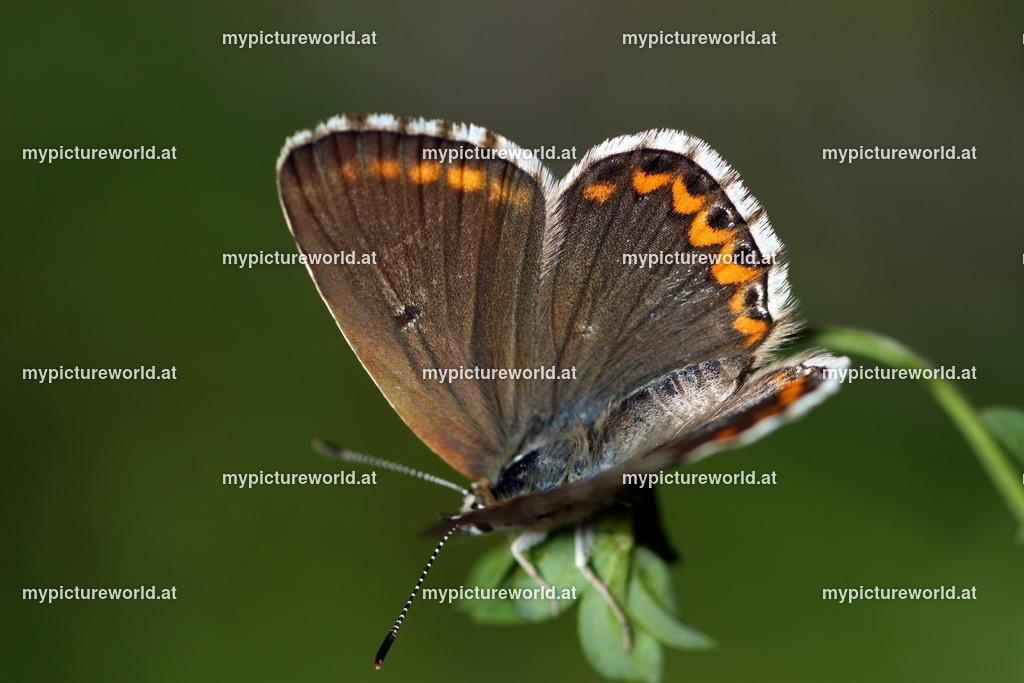 Polyommatus bellargus-010