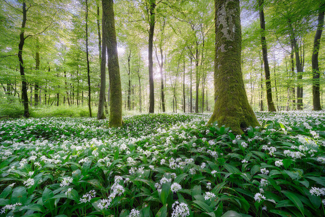 Im Bärlauchwald   Ein überwältigender Duft von Knoblauch war nur ein Aspekt dieses Fotografieerlebnisses im Bärlauchwald. Es war ein Besuch mit allen Sinnen: satte Farben, warmes Sonnenlicht, zwitschernde Vögel und das weiche Moos an den Baumrinden.