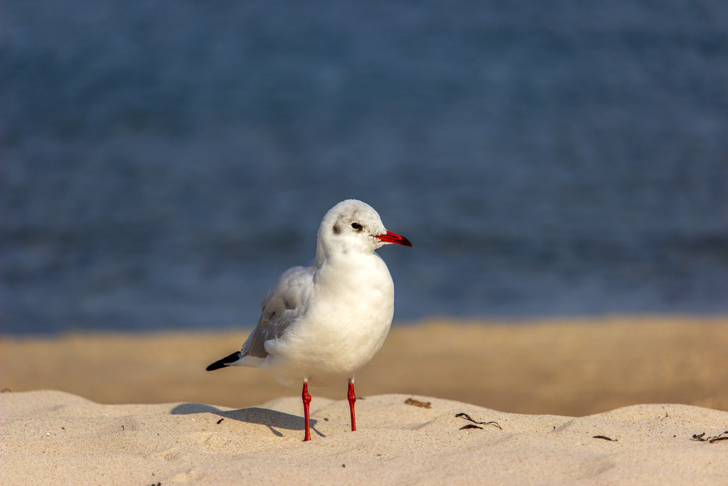 Ostseestrand | Möwe am Strand