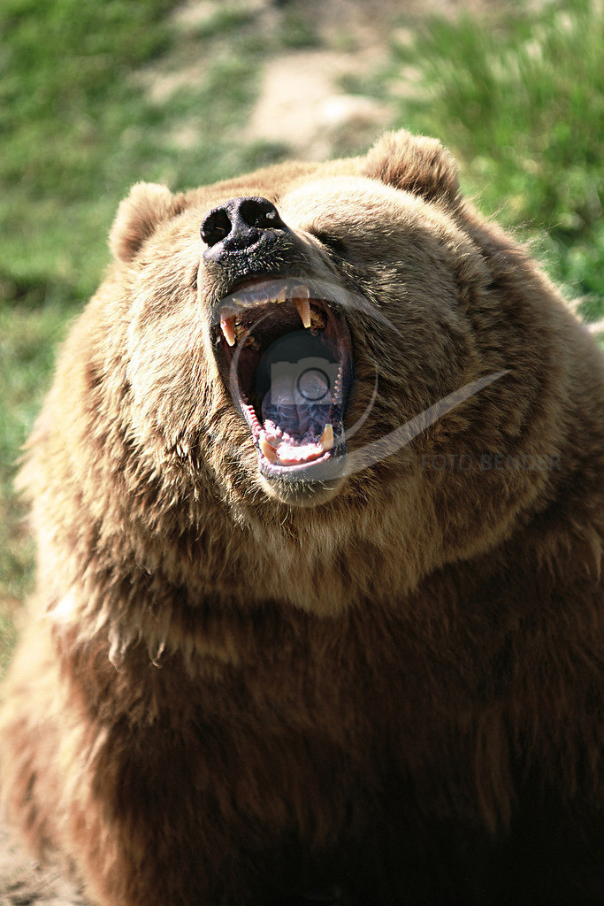 Grizzly_Angriff