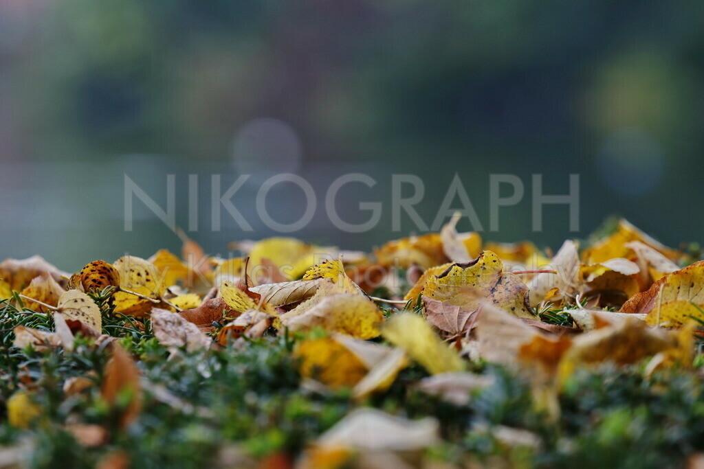 Herbstlaub | Das Laub hat sich auf einer Hecke abgesetzt.