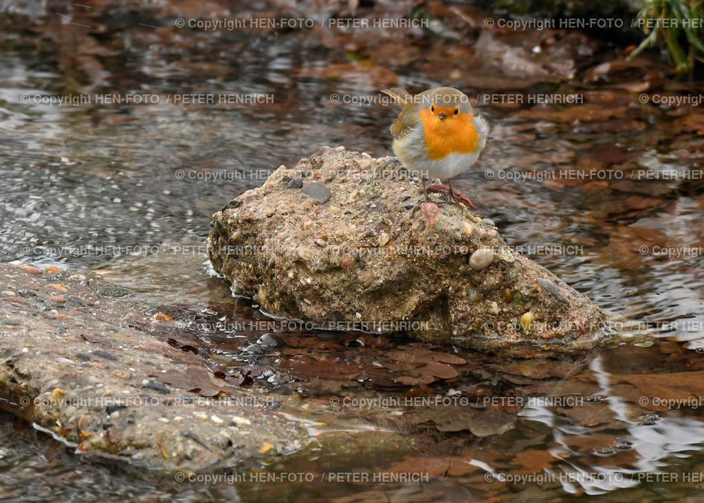 Vogel des Jahres 2021 - das Rotkehlchen - copyright by HEN-FOTO   Wahl entschieden zum Vogel des Jahres 2021 - das Rotkehlchen - copyright by HEN-FOTO / Peter Henrich