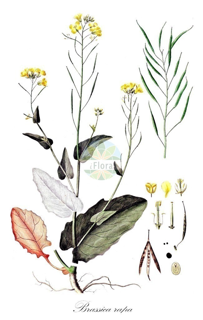 Historical drawing of Brassica rapa (Turnip)   Historical drawing of Brassica rapa (Turnip) showing leaf, flower, fruit, seed