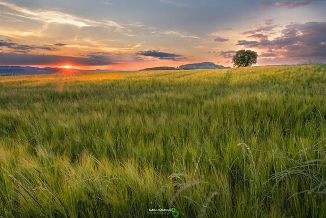 Getreidefeld | weiches, goldiges Licht über einem jungen Getreidefeld