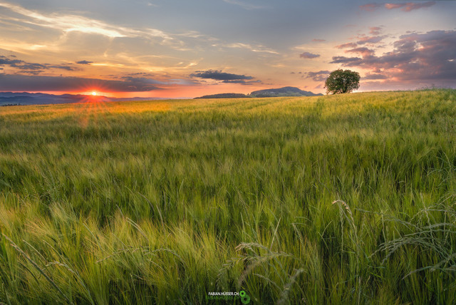 Getreidefeld   weiches, goldiges Licht über einem jungen Getreidefeld