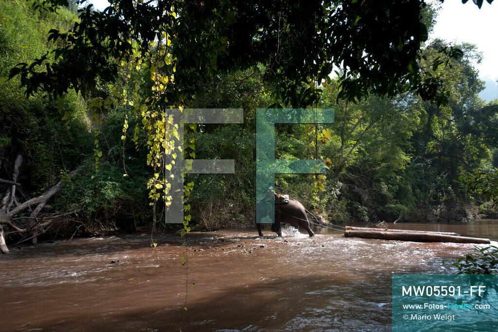 MW05591-FF | Laos | Provinz Sayaboury | Reportage: Arbeitselefanten in Laos | Arbeitselefant zieht Baumstämme aus dem Dschungel. Lane Xang -