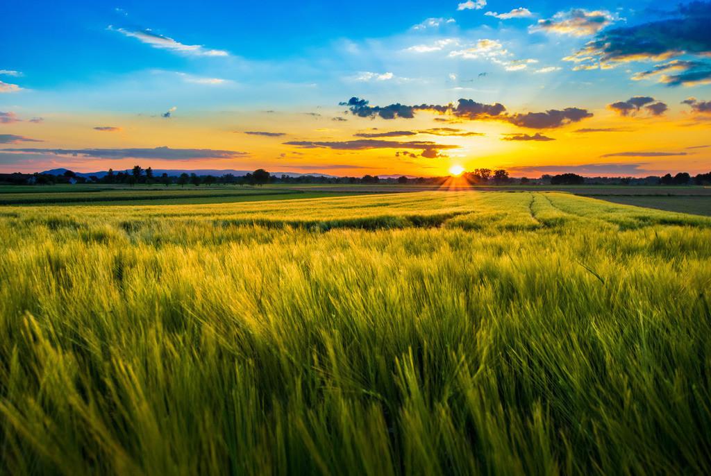 Sommer im Ried   Sommerliches Getreidefeld in der Oberrheinebene