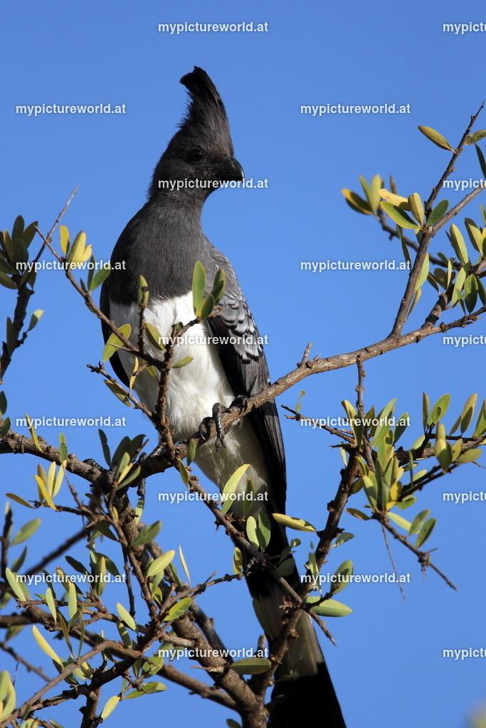 Weißbauch-Lärmvogel-006