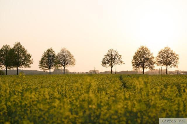 Rapsfeld zur goldenen Stunde  | Ein Rapsfeld in Raderbroich zur goldenen Stunde
