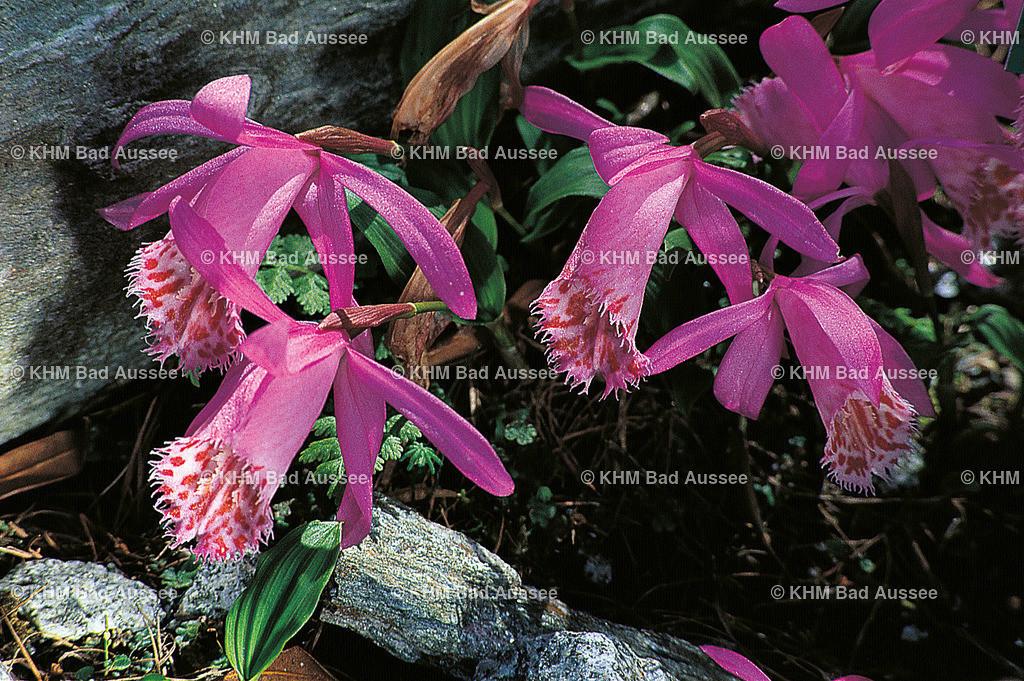 Tibet_Orchidee | lat. Pleione limprichtii