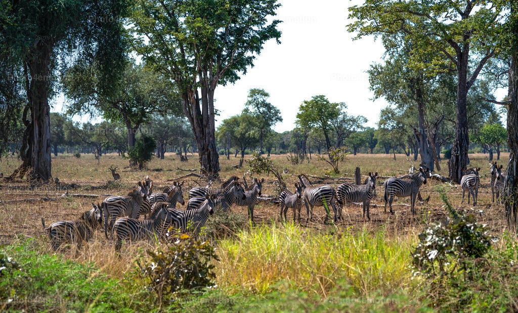 GRO06710 | South Luangwa and Lower Zambezi National Parks are among the greatest national parks in Africa and are an undisputed