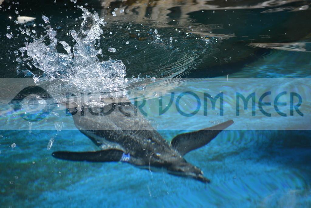 Fotoausstellung Meer Bilder | Pinguine Bilder beim eintauchen ins Wasser