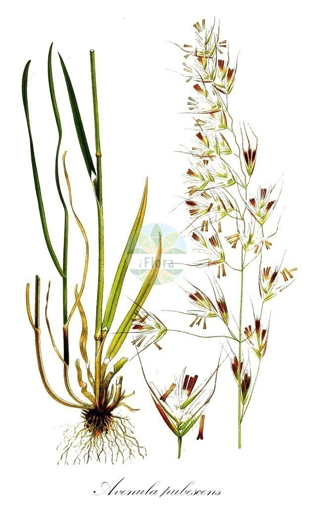 Historical drawing of Avenula pubescens (Downy Oat-grass) | Historical drawing of Avenula pubescens (Downy Oat-grass) showing leaf, flower, fruit, seed