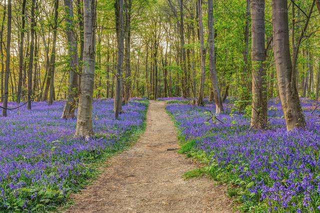 Wald der blauen Blumen | In der Nähe von Hückelhoven im Kreis Heinsberg im Rheinland befindet sich der in Deutschland einzigartige