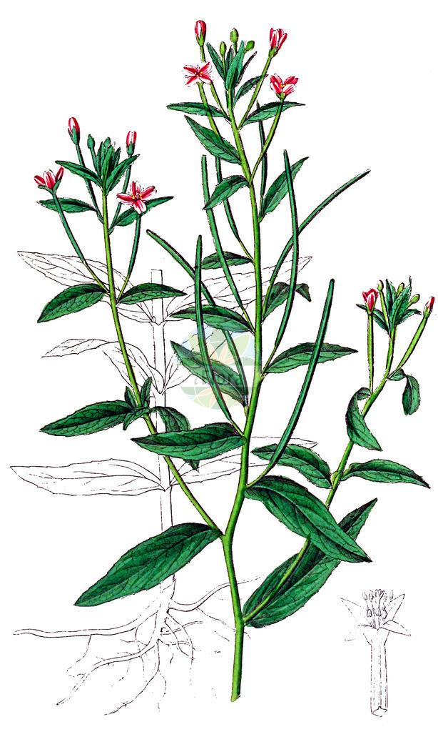Epilobium parviflorum (Kleinbluetiges Weidenroeschen - Hoary Willowherb)   Historische Abbildung von Epilobium parviflorum (Kleinbluetiges Weidenroeschen - Hoary Willowherb). Das Bild zeigt Blatt, Bluete, Frucht und Same. ---- Historical Drawing of Epilobium parviflorum (Kleinbluetiges Weidenroeschen - Hoary Willowherb).The image is showing leaf, flower, fruit and seed.