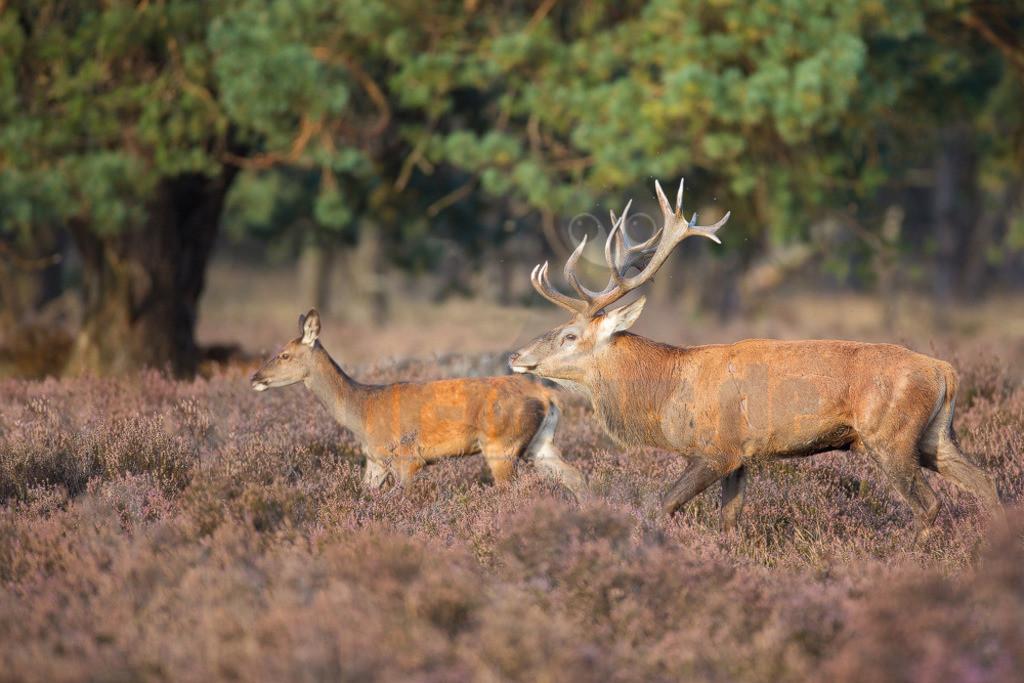 20131003174549   Der Rothirsch, jägersprachlich Rotwild und seltener auch Edelhirsch genannt, ist eine Art der Echten Hirsche. Unter den Hirscharten zeichnet sich der Rothirsch, kurz auch Hirsch genannt, durch ein besonders großes und weitverzweigtes Geweih aus.