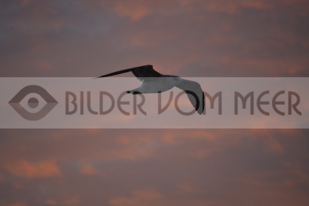 Möwen Bilder | Möwe im Gleitflug beim Sonnenuntergang