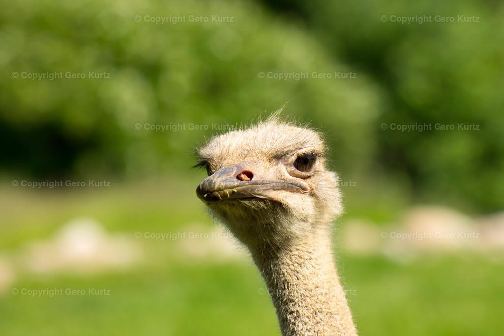 Head of ostrich close-up. - Kopf vom Strauß in Nahaufnahme.