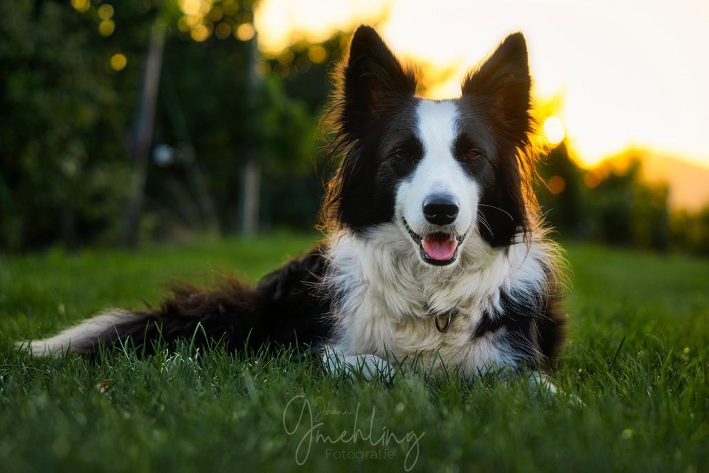 Border Collie im Abendlicht | Border Collie im Gras liegend bei Sonnenuntergang